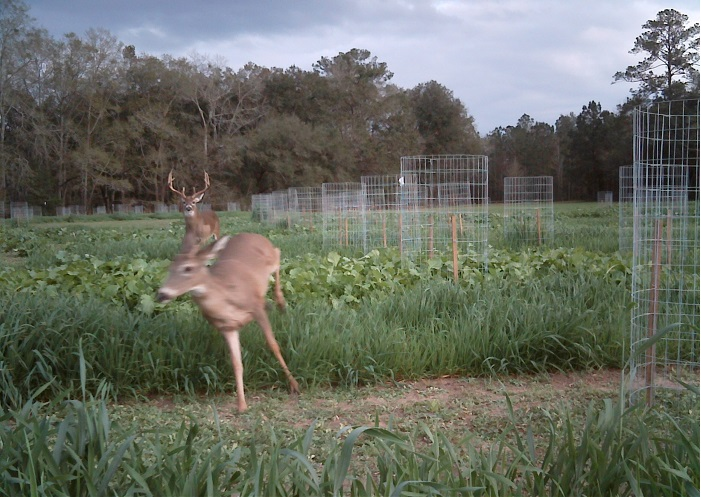 A buck chases a doe through plots of wildlife forages being evaluated at the University of Florida's North Florida Research and Education Center. Photo Courtesy of Holly Ober