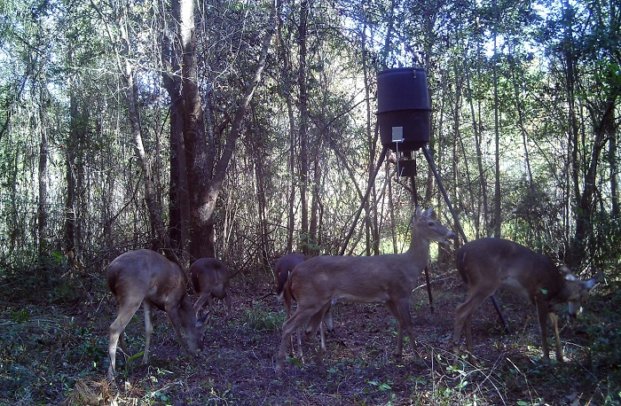 If attracting deer, not improving habitat, is your primary goal you might consider establishing a feeding station. Be sure to check FWC regulations before you begin feeding game animals.
