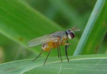 Adult Fly that lays eggs of Bermudagrass Stem Maggot.