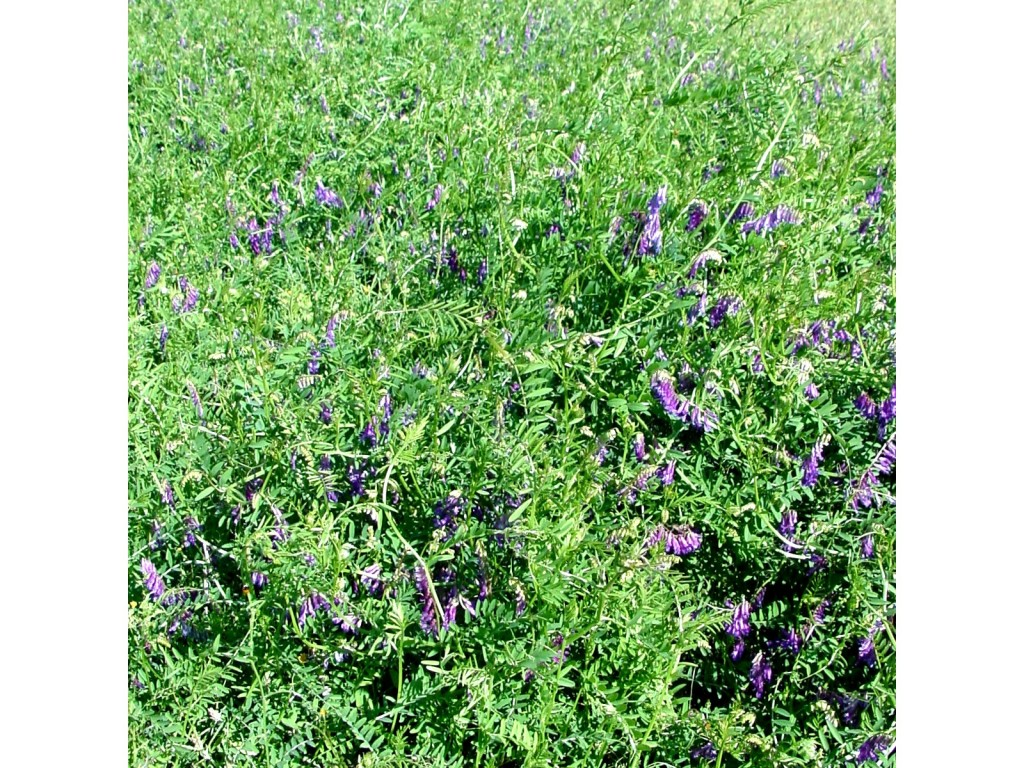Vetch is a native forage legume planted can be planted for cool season forage