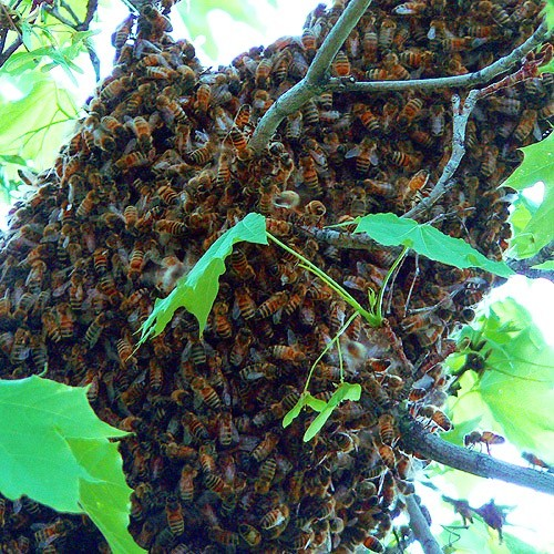 A European Honey Bee swarm taking temporary refuge on a tree limb before finding a new home for their expanding colony.