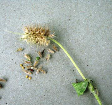 Once the seedhead is dry and the seed turn dark, clover can be grazed or mowed