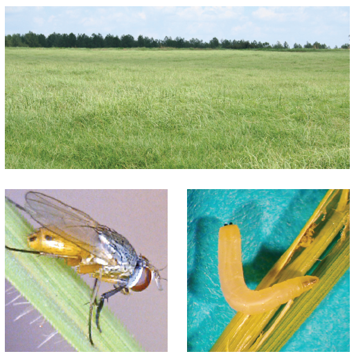 Stem maggots are a relatively new pest of Bermudagrass hayfields in the Southeast.