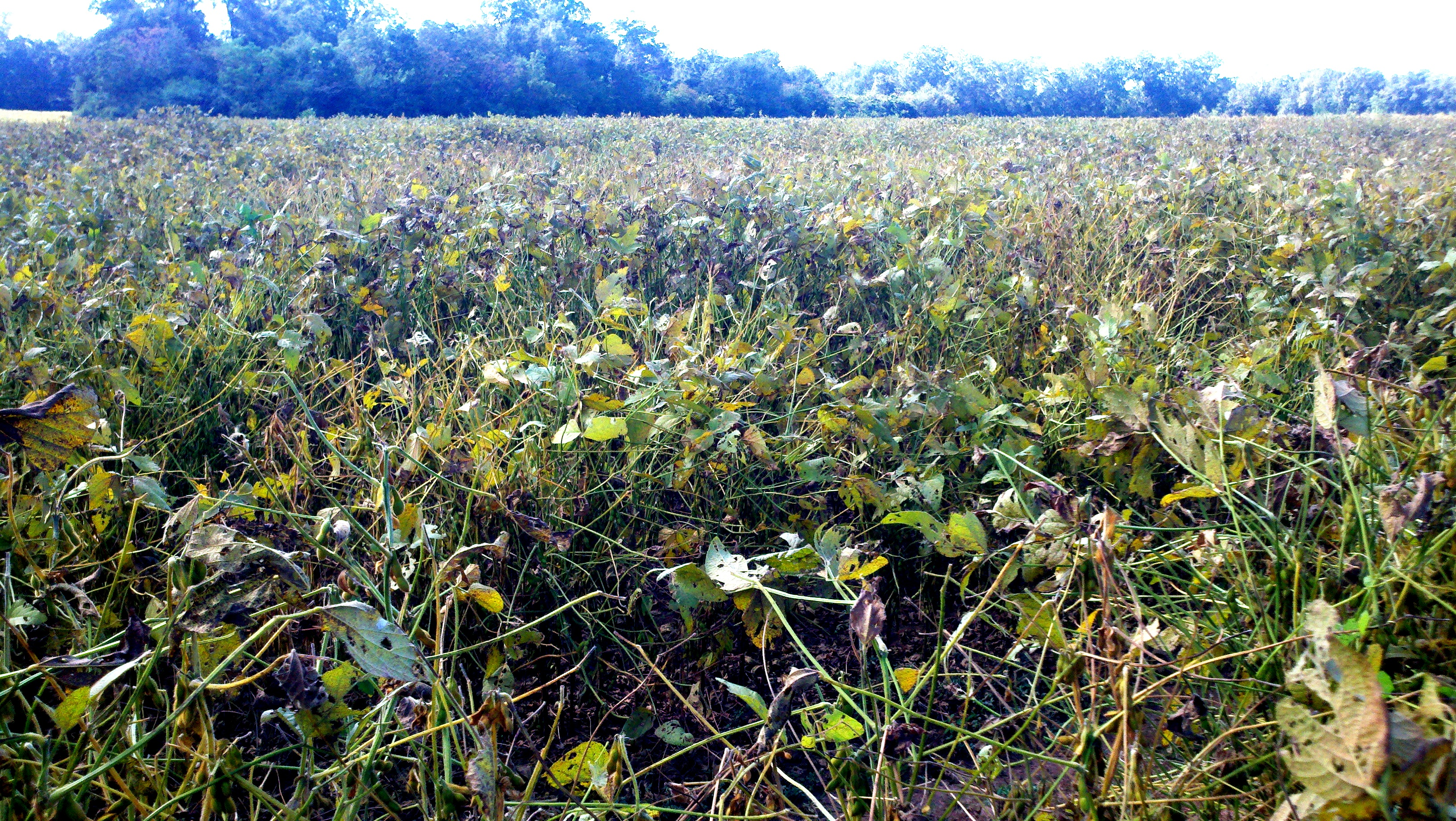 Field devastated by Asian Soybean Rust in 2012