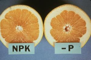 Phosphorous Deficient Citrus