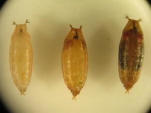 SWD larvae