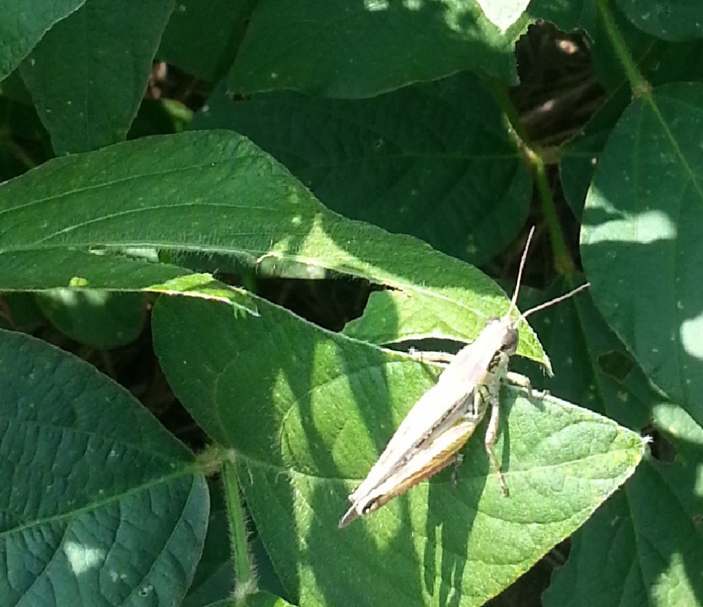 Small grasshoppers (1 inch or less) are easier to control than larger ones.