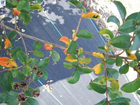 Current crapemyrtle cultivars are susceptable to a variety of diseases which detract from their appearance, and make sales more difficult.