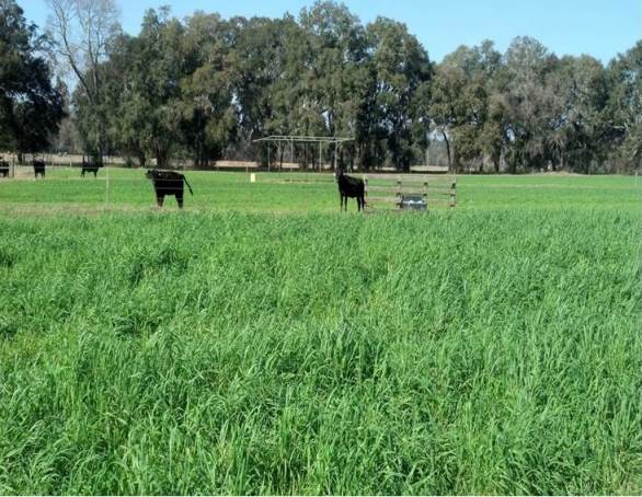 Winter grazing trial at the UF/IFAS NFREC February 2013 show lush winter pasture for cattle.
