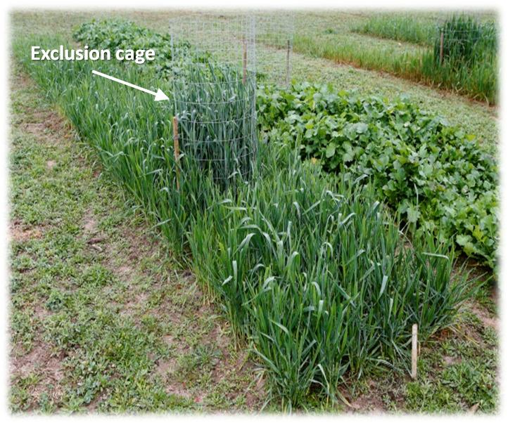 Figure. Small grains (left) and brassica (right) as food plots or can be used as cover crops. Exclusion cage as evidence of deer feeding outside of cage.
