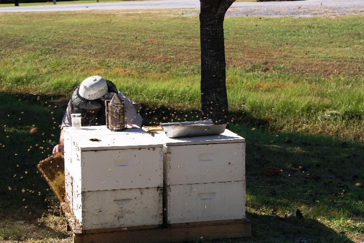 Bee inspector Tending Hive Splitting Demonstrations - Image Credit Matthew Orwat UF IFAS Extension