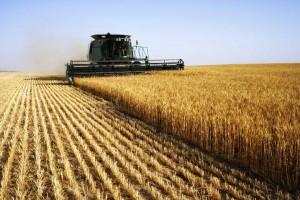 EDIS wheat