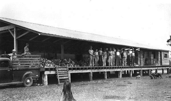 Farmers with cabbage at the Marianna and Blountstown depot at Blountstown or Altha, 1950s.  Photo Credit: State Archives of Florida, Florida Memory, Railroad, http://floridamemory.com/items/show/68