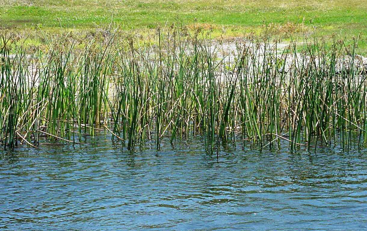 Native aquatic plants, such as this bulrush provide a number of benefits for your pond.  Photo by   John Rodgers FWC