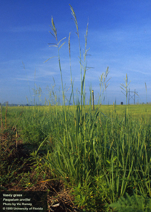 vasseygrass