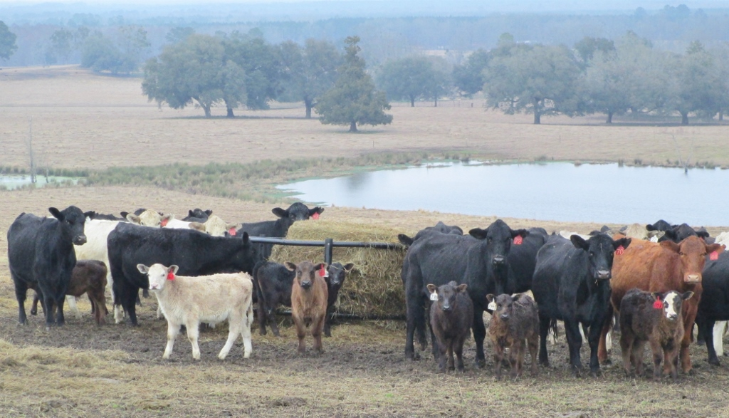 Cattle Rations Short on Energy this Winter - UF/IFAS Extension