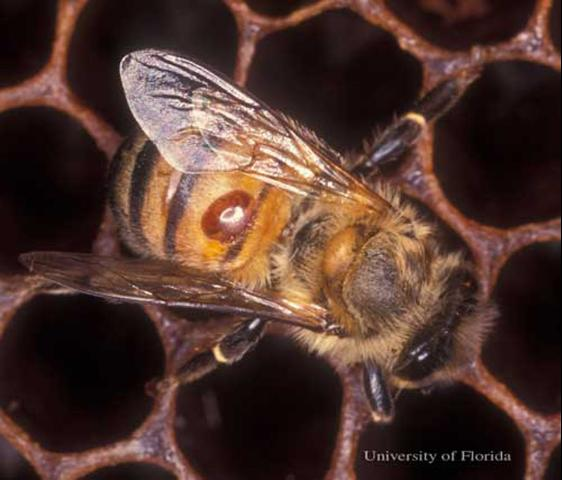 A female varroa mite, Varroa destructor Anderson & Trueman, feeds on the hemolymph of a worker bee. The mite is the oval, orange spot on the bee's abdomen.  Photograph by: James Castner, University of Florida.