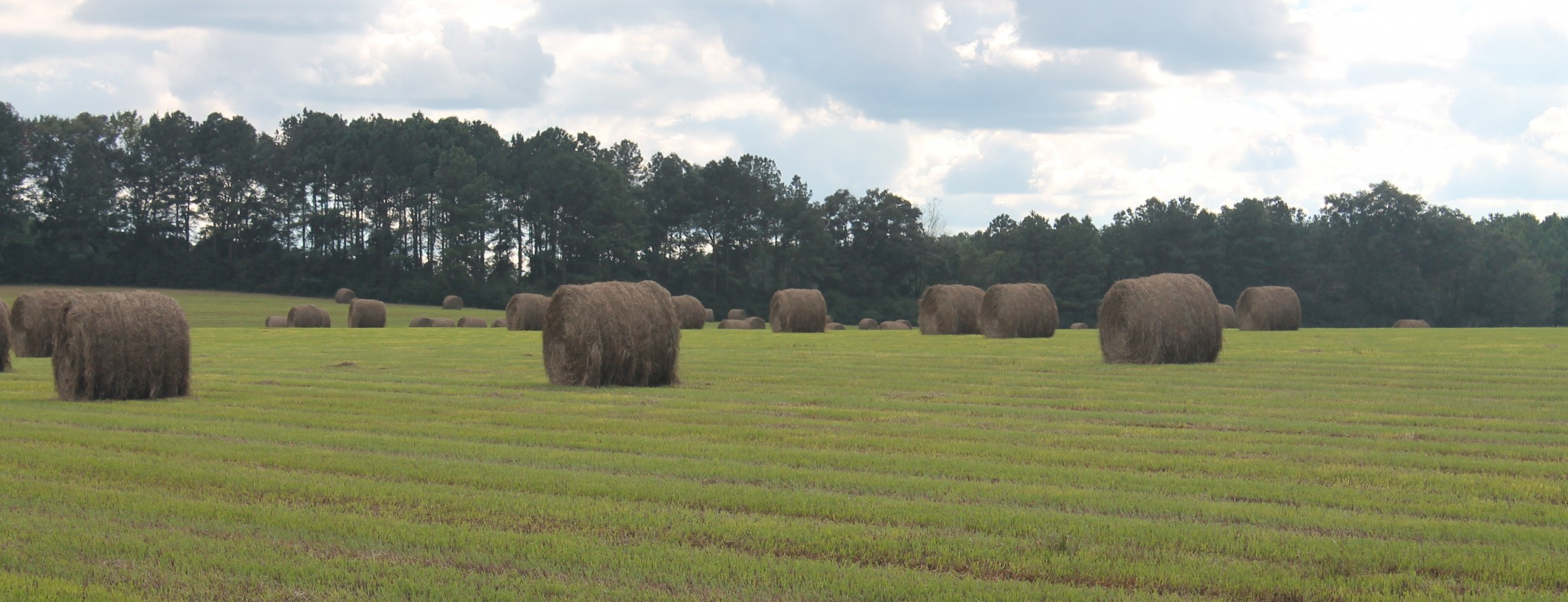Bahiagrass hay field in Washington County this past summer.