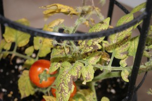 Bacterial leaf spot on potted garden tomato