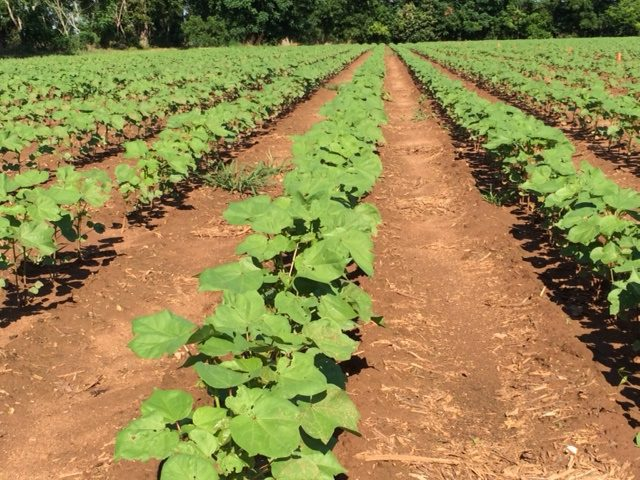 Early squaring cotton. Photo by Mike Donahoe