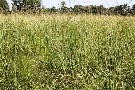 If left unchecked vaseygrass can take over a field, like this one in Northeast Washington County.