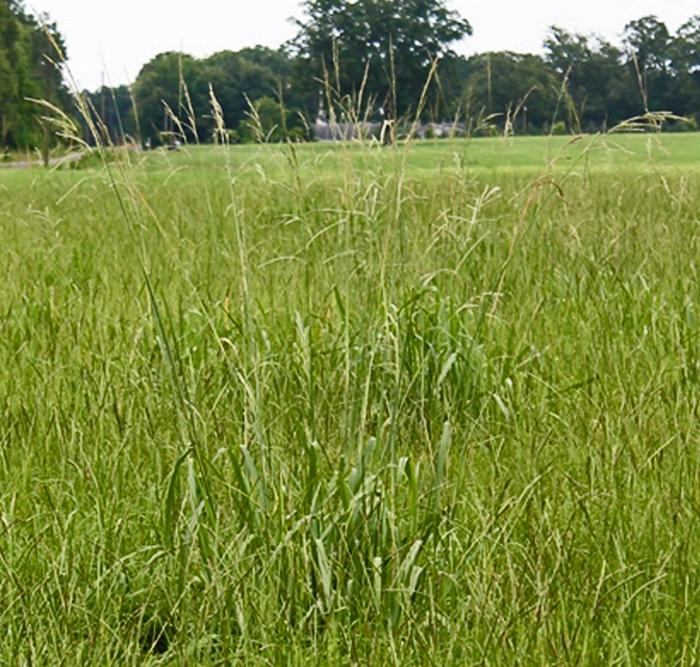 vaseygrass