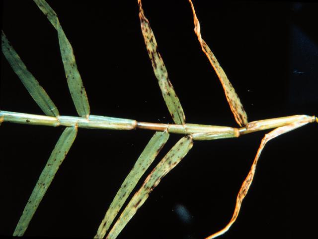 Helminthosporium is commonly associated with Potassium deficiency.  Photo Credit: Helminthosporium Leaf Spot SS-PLP-9
