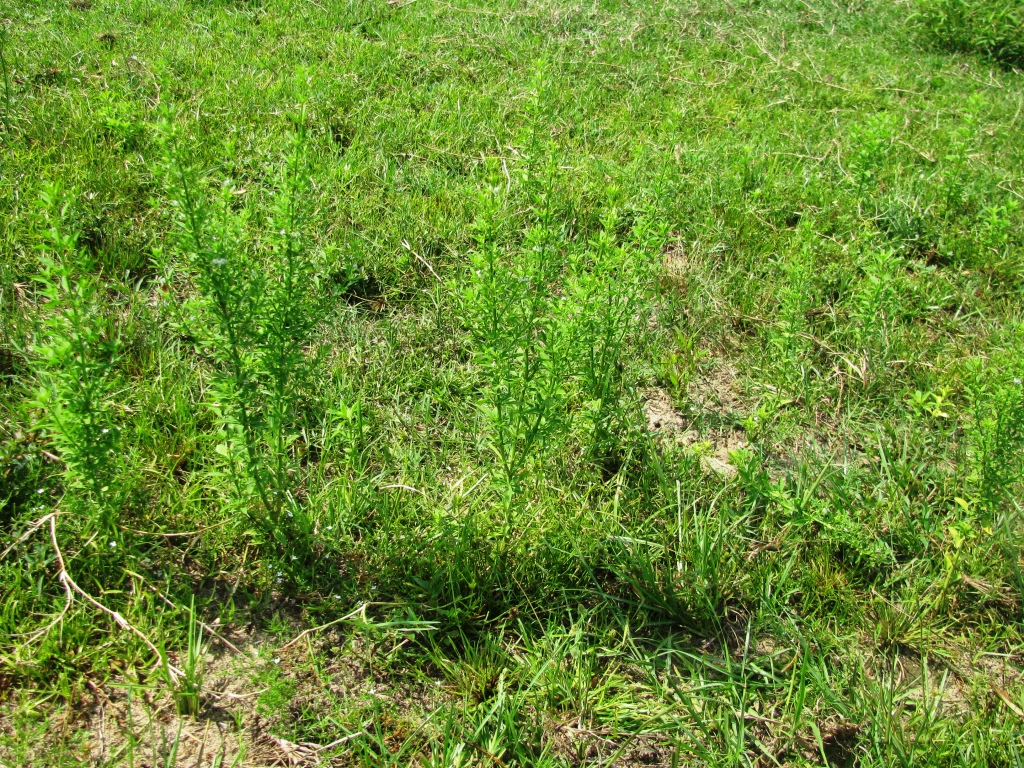 Goatweed in Holmes County Pasture - photo by Shep Eubanks