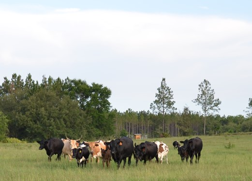 Cattle are one of the commercial livestock species which can qualify for USDA LIP payments