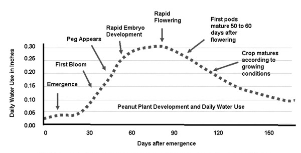The water demand of peanuts changes dramatically throughout the growing season. Different planting dates can have a substantial effect on how well rainfall matches water demand. Source: http://soil-testing.tamu.edu/TRMEP/trmscs50.pdf