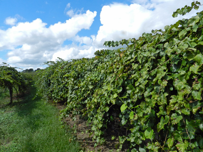 Muscadine grapevines  Photo credit:  Pete anderson