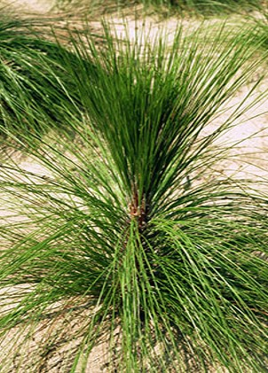 The grass-stage seedling is resistant to fire. Once the terminal bud develops, it is protected by a moist, dense, tuft of needles.  As the tuft burns towards the bud from the needle tips, water is vaporized. The steam reflects heat away from the bud and extinguishes the fire.  The bud also has scales for protection and a silver fuzzy covering that probably also reflects heat. Joseph O'Brien US Forest Service, Bugwood.org
