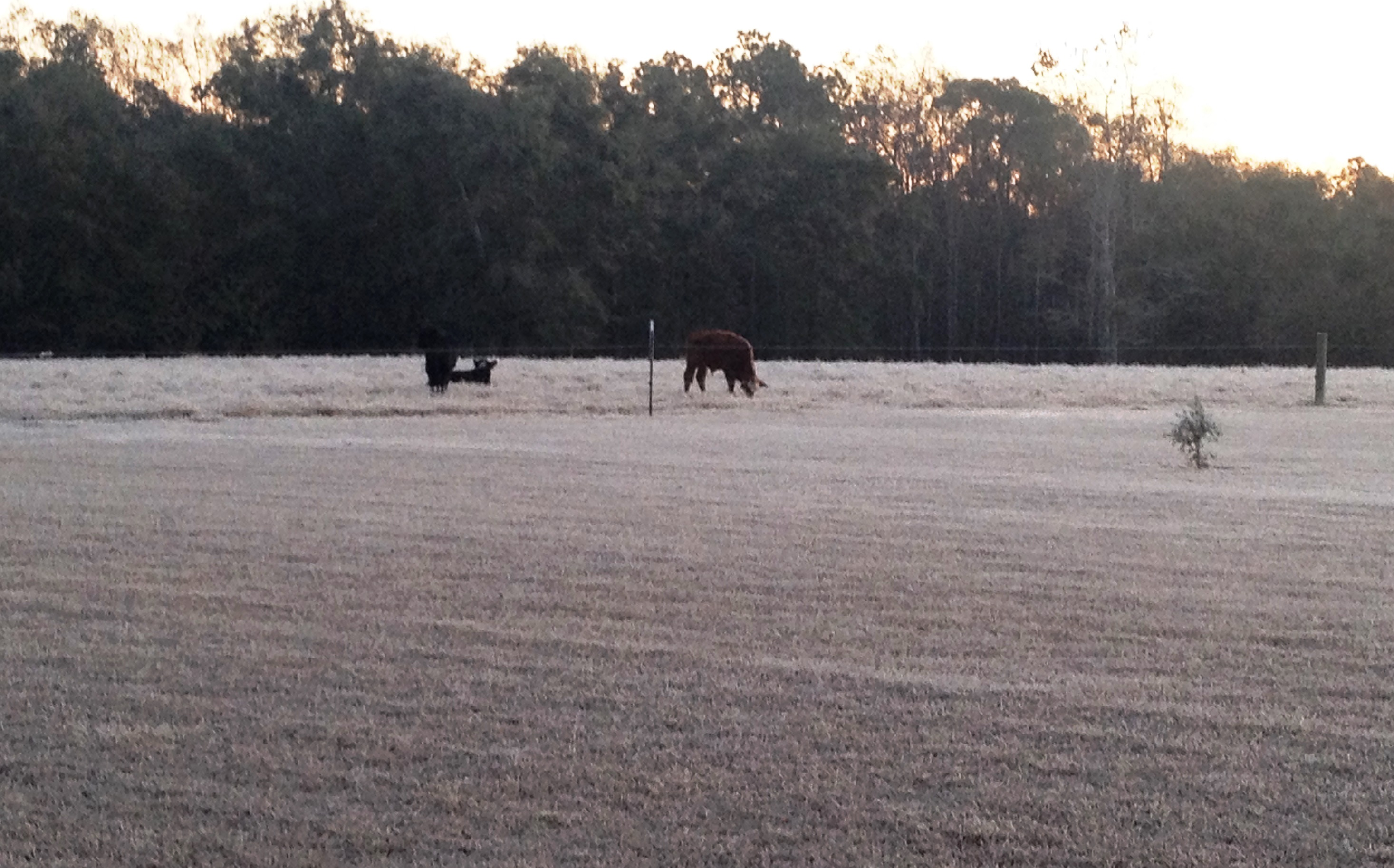 The frosty cold mornings of the past few days help remind us about the importance of supplementing our cattle with high-energy winter feeds. Photo by Ralph Yoder