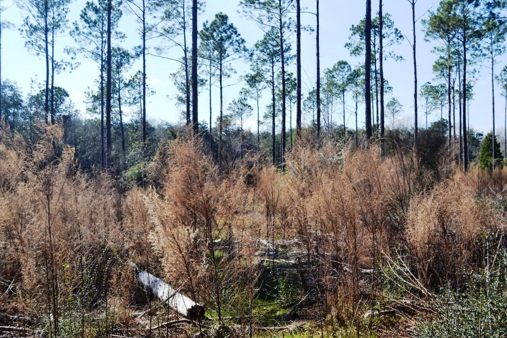 Dealing with understory to establish grass in pines