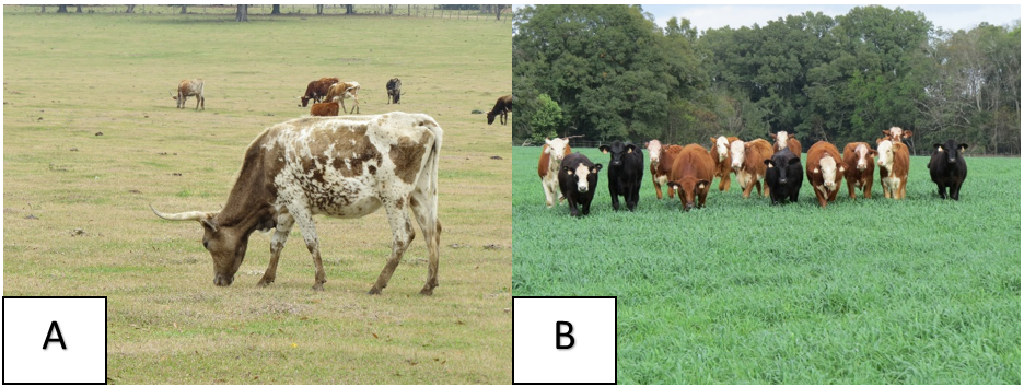 Figure 1. Overgrazed (A) and well-managed pasture (B). Photo credits: Jose Dubeux, UF/IFAS – NFREC