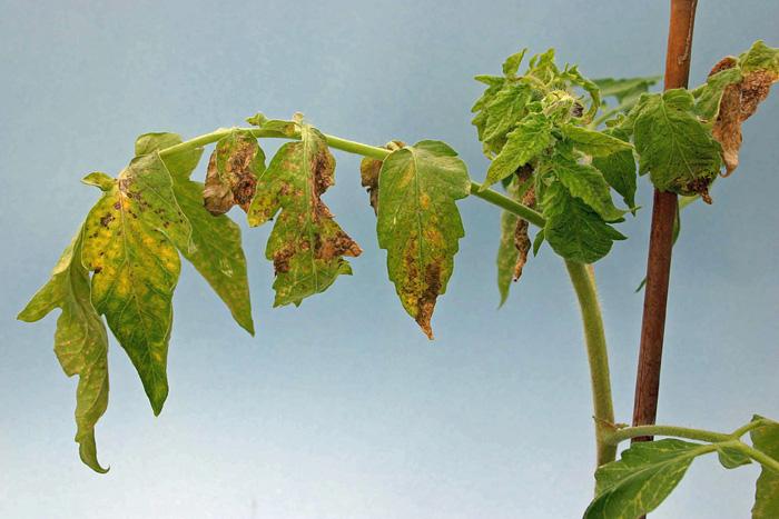 Figure 1. Tomato chlorotic spot virus symptoms on young tomato plant.  Photo Credit Joe Funderburk