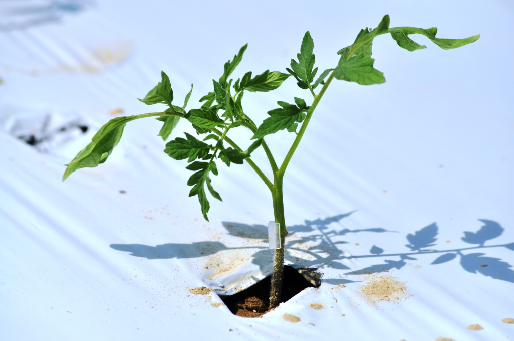Figure 2. Recently transplanted grafted tomato plant, it is important to keep graft unions above the soil line.  Photo by Josh Freeman