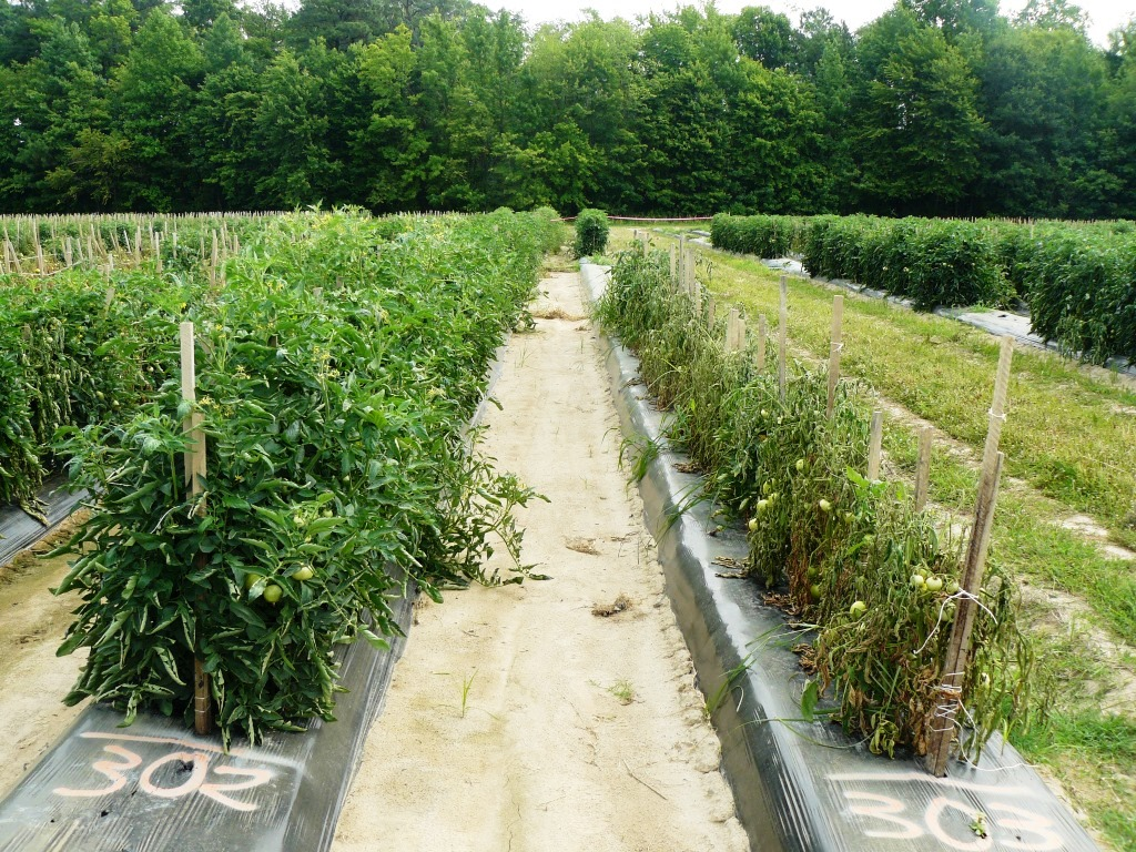 Figure3. Grafted plants on the left, non-grafted on the right in a field severely infested with bacterial wilt.  Photo by Josh Freeman