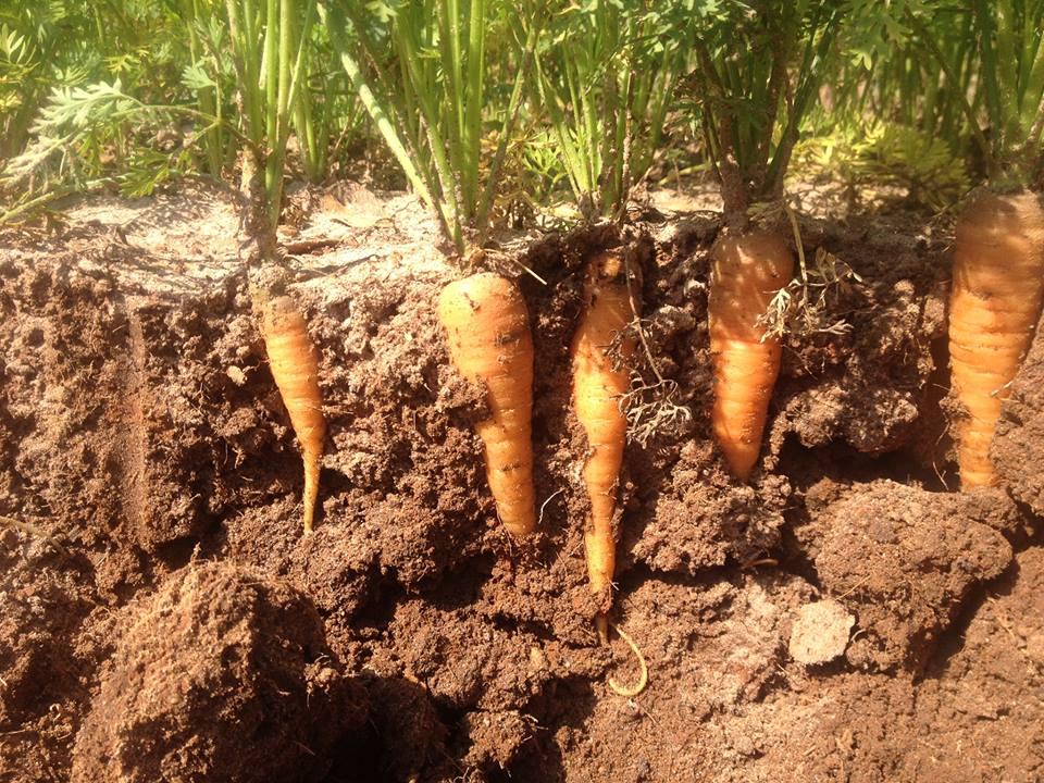 Full Earth Farm - Carrots in Soil Profile