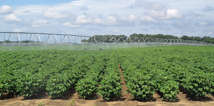 Irrigated Cotton at NFREC