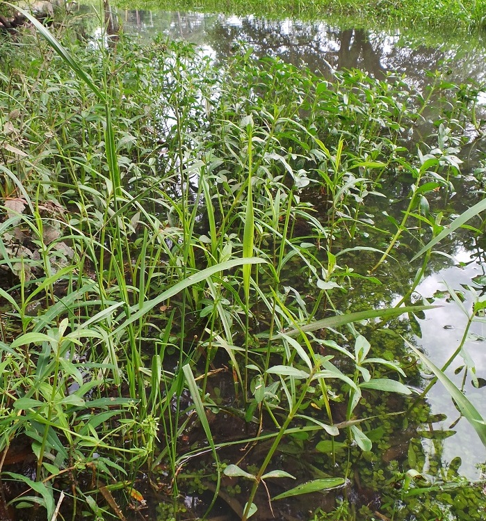 Large amounts of decaying plant material can deplete the dissolved oxygen in a pond. Be careful when controlling aquatic weeds, especially during the hot summer months. Photo Credit: Mark Mauldin