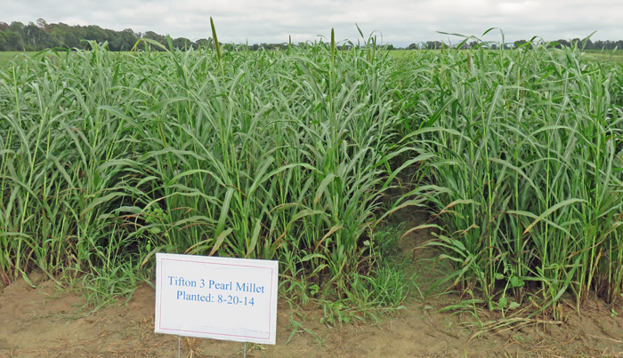 Tifleaf millet planted in August and photographed in October. 3, 2014 at the NFREC Beef and Forage Field Day.  Photo Credit:  Doug Mayo