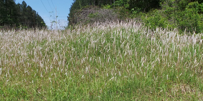 Cogongrass seadheads are easily spotted this time of year. Photo Credit: Mark Mauldin
