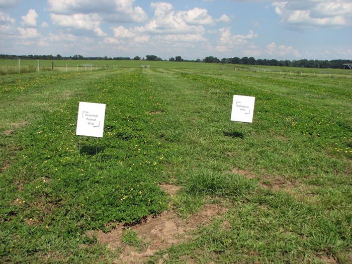 Figure 2. Strip-planting of rhizoma peanut (Arachis glabrata Benth.) into Argentine bahiagrass (Paspalum notatum Flugge); Marianna, FL. Photo credits: Jose Dubeux, UF/IFAS – NFREC