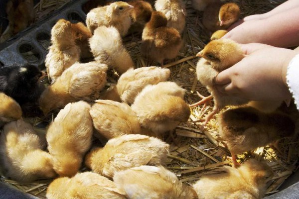 There is always a Salmonella risk associated with handling poultry. Avoiding droppings and careful hand washing after handling can greatly reduce the risk. Photo Credit: iStockphoto