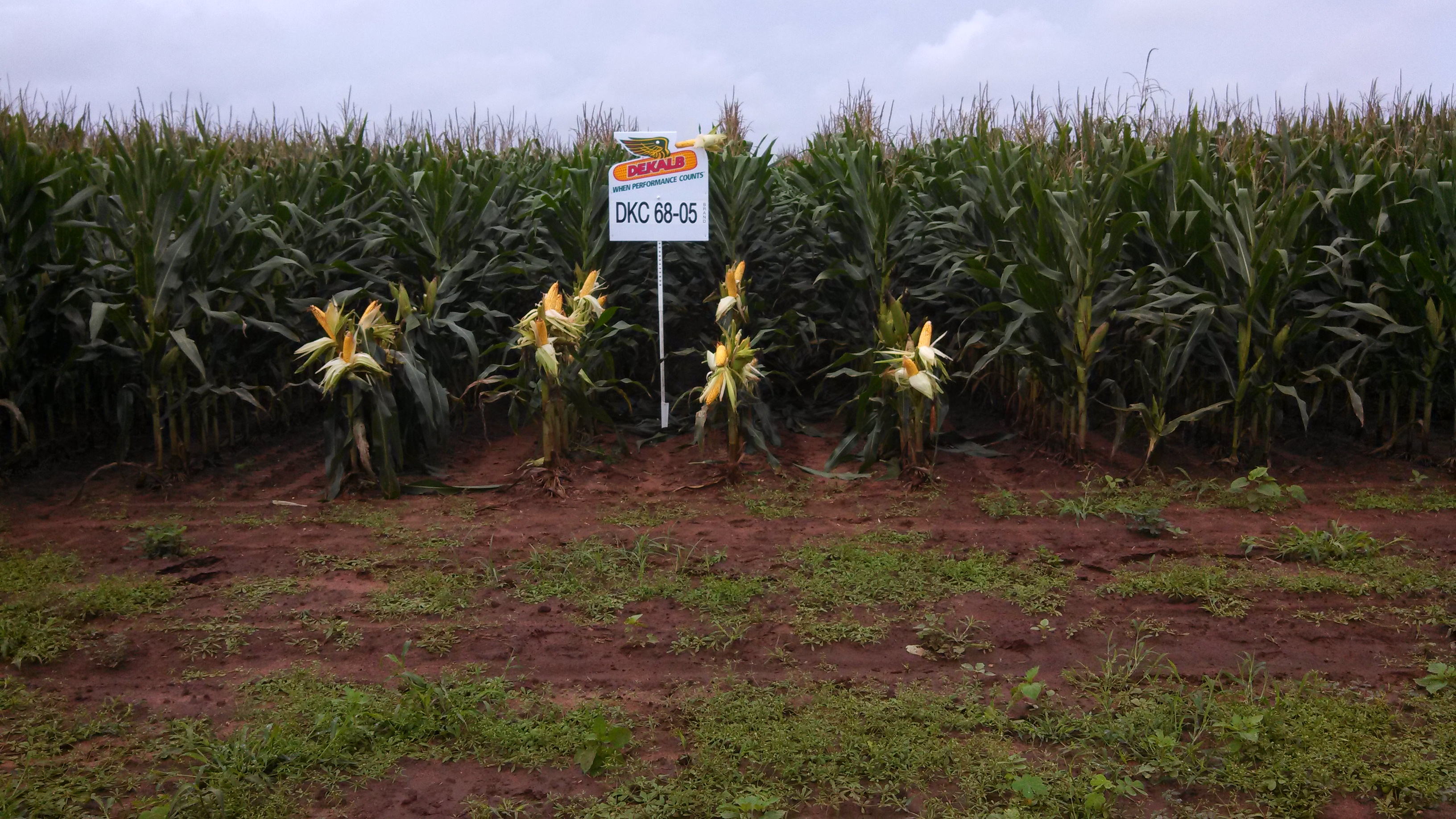 This corn variety is a GMO with traits for insect resistance and herbicide tolerance.