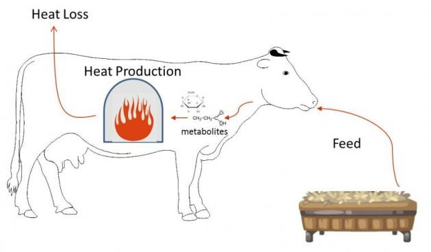 Figure 2.  The process of heat production produced by fermentation inside the cow's rumen.