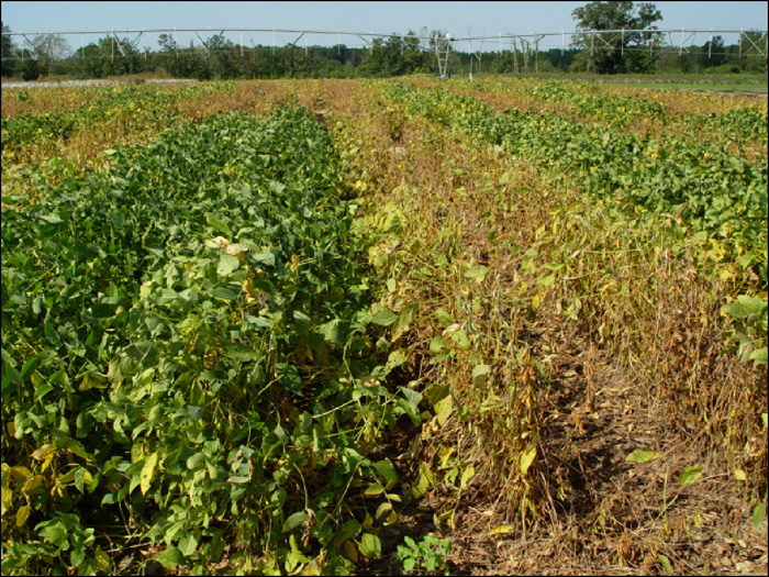 Soybeans infected and not infected with Asian soybean rust, caused by Phakopsora pachyrhizi, in a fungicide trial in Attapulgus, GA, 2006. (Photo by R. C. Kemerait, Jr.)