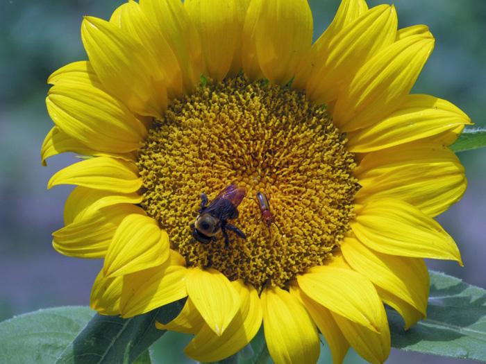 L'Andre Sunflower