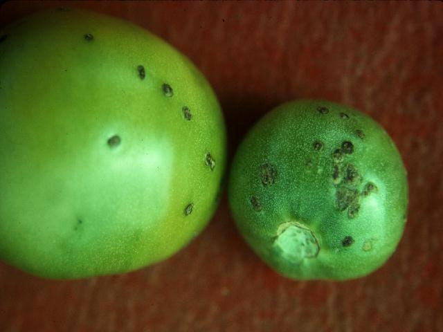 Bacterial spot on tomato fruit.